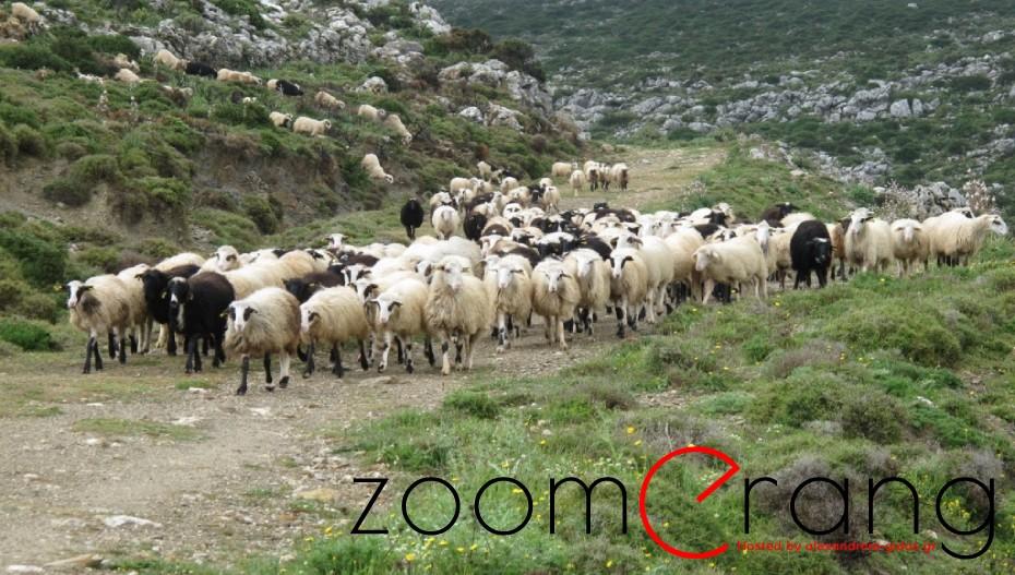 """Διαψεύδονται οι φήμες περί """"πριμ εξόδου"""" των προβατοτρόφων της χώρας"""